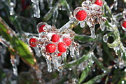 Berries Red  Ice Storm Framed Prints - Ice Berries Framed Print by Josh Brown