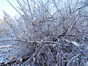 Pema Hou - Ice Branches