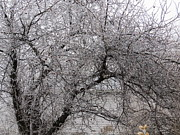 Elisabeth Ann - Ice Covered Crab Apple...