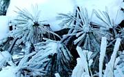Gail Matthews - Ice Daisies