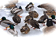 Flocks Of Ducks Posters - Ice Walkers Poster by Catherine Renzini