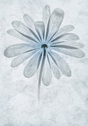 Windflower Prints - Iced Anemone Print by John Edwards