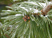 Snot Posters - Iced over pine cones Poster by Tracy Winter