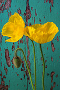 Garry Gay - Iceland Poppies Against...