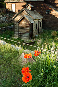 Iceland Poppy And Derelict Buildings Silver Plume Historic Mining Town Near Georgetown Colorado Print by Robert Ford