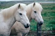 Kenneth W Fink - Icelandic Horses