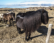 Runolfur Hauksson Prints - Icelandic Pony Print by Runolfur Hauksson