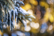 Needle Photo Prints - Icicles on fir tree in winter Print by Elena Elisseeva