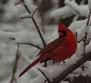 Red Bird In Snow Prints - Iconic Avian Print by Kitrina Arbuckle