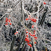 Berries Red  Ice Storm Posters - Icy Berries Poster by Frank Winters