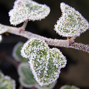 Icy Ivy Print by Terri  Waters