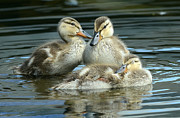 Baby Mallards Photo Posters - Idyllic 4 Poster by Fraida Gutovich