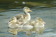 Baby Mallards Photo Posters - Idyllic 5 Poster by Fraida Gutovich