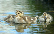 Baby Mallards Photo Posters - Idyllic Poster by Fraida Gutovich