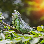 Fanciful Metal Prints - Iguana Metal Print by Anek Suwannaphoom
