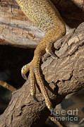 John Mitchell - Iguana Foot