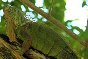 Adam Jewell - Iguana In The Trees