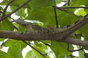 Iguana In Tree Print by Dan Friend