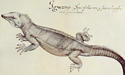 Pen And Ink Drawings Framed Prints - Iguana Framed Print by John White