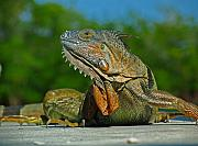 Portrait Photography Framed Prints - Iguana Framed Print by Juergen Roth