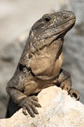 Adam Jewell - Iguana On A Rock