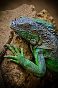 William Shevchuk - Iguana Party?