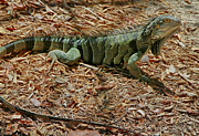 Iguana Metal Prints - Iguana With A Smile Metal Print by Deborah Benoit