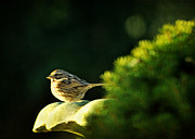 Birdbath Posters - Ill Have to Say I Love You in a Song Sparrow Poster by Rebecca Sherman