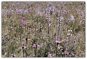 Rosanne Jordan - Illinois Prairie Wildflowers