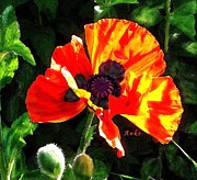 Anke Wheeler - Illuminated Poppy