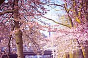 Sakura Prints - Illuminated Trees. Pink Spring in Amsterdam Print by Jenny Rainbow