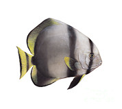 Fish Artwork Posters - Illustration Of A Batfish, White Poster by Carlyn Iverson