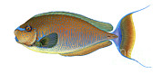 Surgeonfish Posters - Illustration Of A Bignose Unicornfish Poster by Carlyn Iverson
