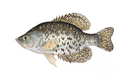 Crappie Prints - Illustration Of A Black Crappie Print by Carlyn Iverson