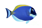Blue Tang Fish Prints - Illustration Of A Blue Surgeonfish Print by Carlyn Iverson
