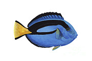 Ray-finned Fish Framed Prints - Illustration Of A Blue Tang Fish Framed Print by Carlyn Iverson