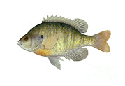 Fish Artwork Posters - Illustration Of A Bluegill, Freshwater Poster by Carlyn Iverson