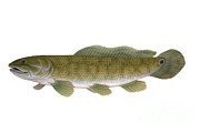 Scale Digital Art - Illustration Of A Bowfin Amia Calva by Carlyn Iverson