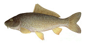 Scale Digital Art - Illustration Of A Common Carp Cyprinus by Carlyn Iverson