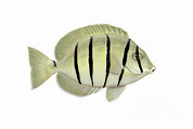 Illustration Of A Convict Tang Fish Print by Carlyn Iverson