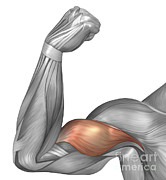 Featured Art - Illustration Of A Flexed Arm Showing by Stocktrek Images