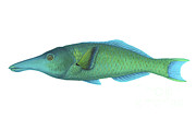 Scale Digital Art - Illustration Of A Green Bird Wrasse by Carlyn Iverson