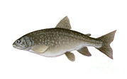 Lake Trout Posters - Illustration Of A Lake Trout Salvelinus Poster by Carlyn Iverson