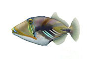 Triggerfish Art - Illustration Of A Picasso Triggerfish by Carlyn Iverson