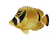 Illustration Of A Raccoon Butterflyfish Print by Carlyn Iverson