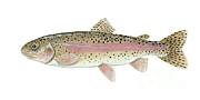 Oncorhynchus Mykiss Framed Prints - Illustration Of A Rainbow Trout Framed Print by Carlyn Iverson