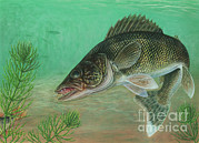 Pickerel Prints - Illustration Of A Walleye Swimming Print by Carlyn Iverson