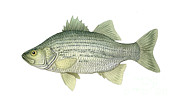 Scale Digital Art - Illustration Of A White Bass Morone by Carlyn Iverson