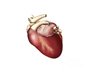 Heart Healthy Metal Prints - Illustration Of Human Heart Metal Print by Stocktrek Images