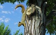 Squirrel Mixed Media - Im Coming Down by Photography Moments - Sandi